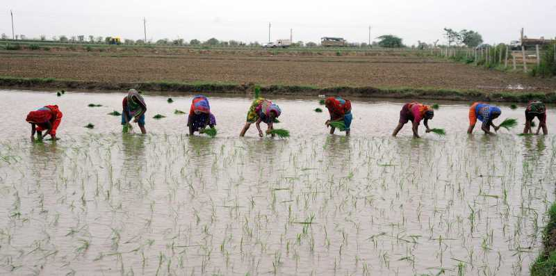 Laborers transplant paddy saplings in a field located on the outskirts of Ahmedabad