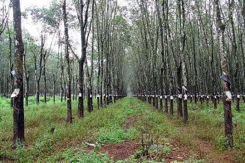 rubber plantations