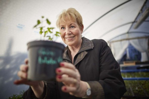 Hulme Community Garden Centre is the first place in the UK to grow a Gingko seed for the mother tree in Hiroshima. After the bomb the area was devastated but seeds formed in the ground around, and they are being distributed around the world, part of the Mayors for peace project that will see the new seeds donated to local schools. Pictured Manchester Lord Mayor cllr Susan Cooley with one of the first seeds to grow