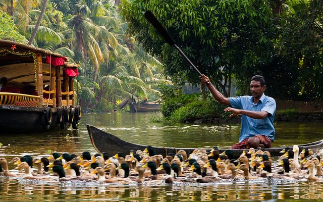 kerala ducks