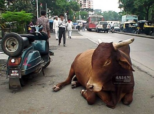 Cow-on-the-streets-of-India