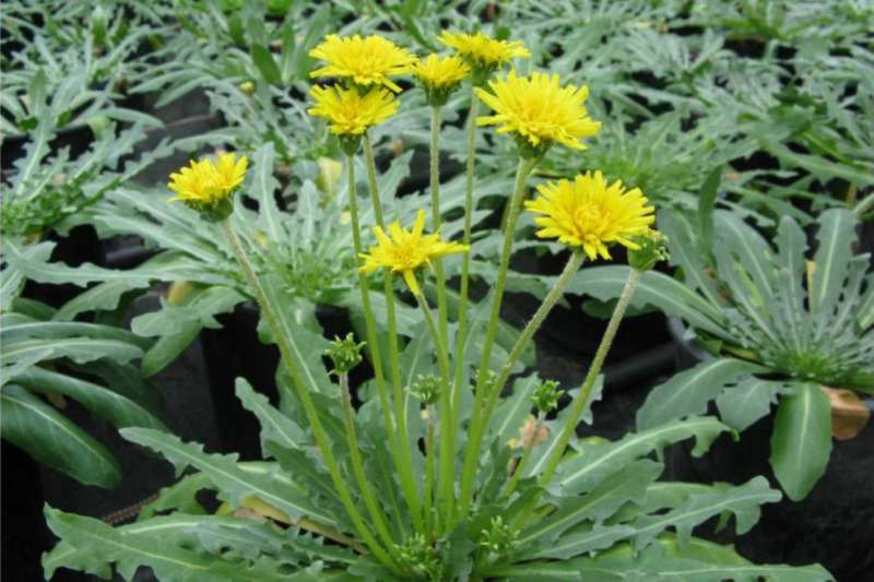 NEW RUBBER? Russian dandelions are on tests to replace natural rubber