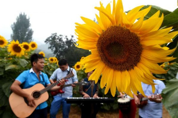 Music fans play at a sunflower farm in Sili township of Jiyuan City, central China's Henan Province, Sept 9, 2015. With recreational sightseeing activities being introduced at the sunflower farm, it is estimated that its yearly revenue will reach 10 million Yuan (about 1.57 million US dollars)