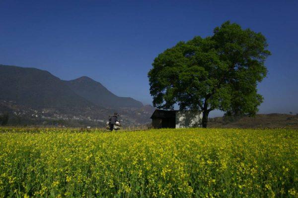 Mustard fields in Nepal