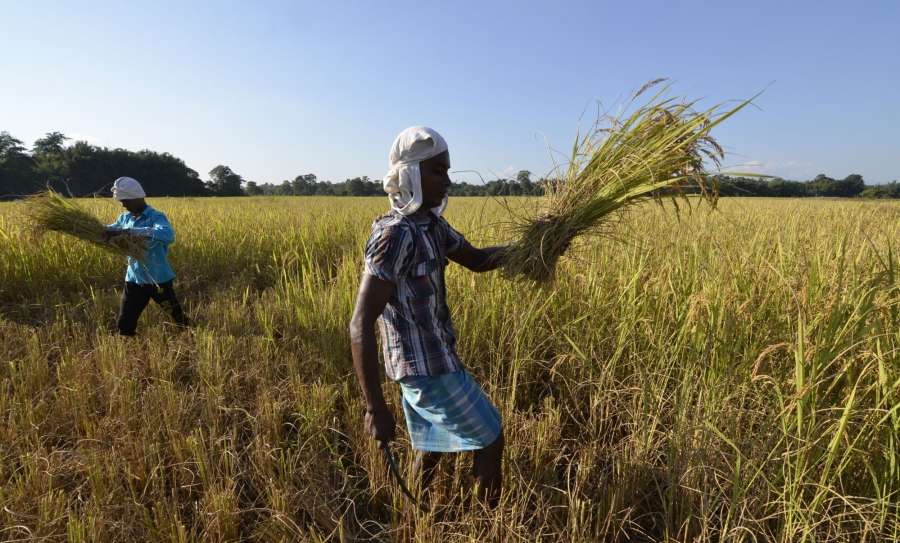 Barpeta: Farmers harvest paddy at at Pathsala in Barpeta district of Assam on Oct 26, 2016. (Photo: IANS)