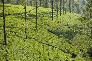 View of tea pickers on tea plantation, Nuwara Eliya, Sri Lanka by .