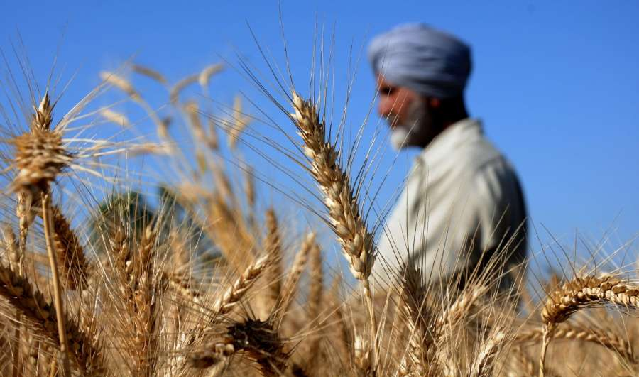 Amritsar: A farmer inspects ears of wheat plants on Baisakhi in Amritsar, on April 13, 2016. (Photo: IANS) by .