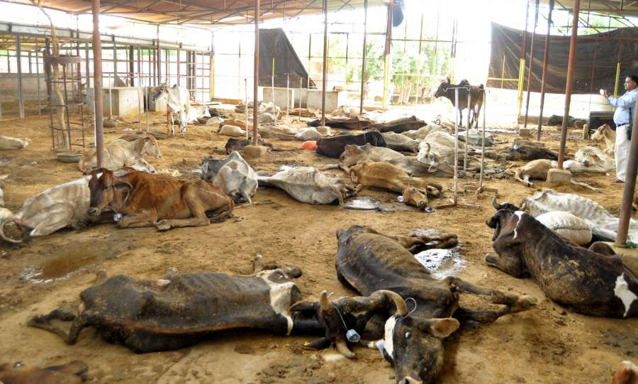 Jaipur: A large number of cows in a pathetic condition at Hingonia Gaushala on the outskirts of Jaipur on Aug. 6, 2016. (Photo: Ravi Shankar Vyas/IANS) by .