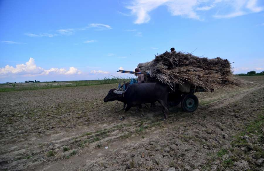 Palashbari: A farmer carries dry jute sticks on his buffalo cart at Palashbari, Assam on Sept 25, 2016. (Photo: IANS) by .