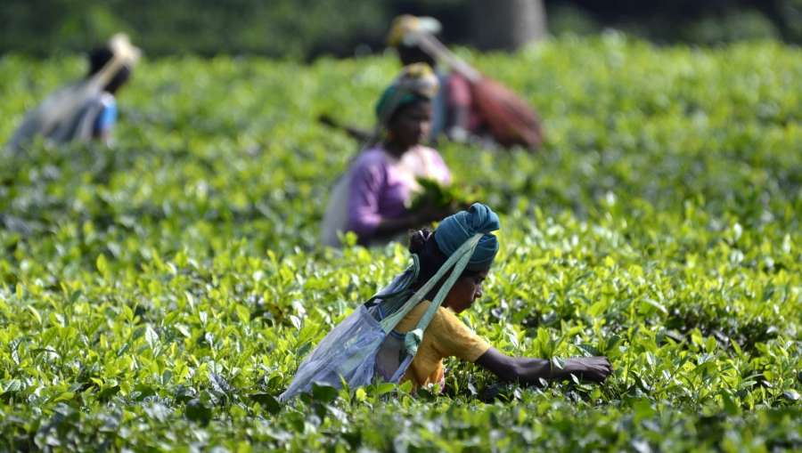 Kaziranga: A tea garden worker plucks new tea leaves at a tea estate in Kaziranga on Oct 1, 2016. (Photo: IANS) by .