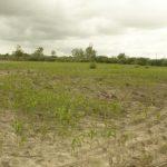 Stunted crop growth due to high salinity in Chamarajanagar district. (Photo: S. Dharumarajan) by .