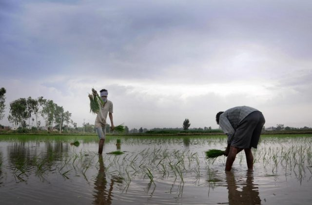 Amritsar: Farmers busy transplanting paddy saplings in a field on the outskirts of Amritsar on June 23, 2018. The total area sown under kharif crop as on June 22 stood at 115.9 lakh hectares as against 128.35 lakh hectares at this time last year. According to Agriculture Ministry rice has been sown in 10.67 lakh hectares, pulses in 5.91 lakh hectares, coarse cereals in 16.69 lakh hectares, sugarcane in 50.01 lakh hectares, oil seeds in 5.03 lakh hectares, jute and mesta in 6.91 lakh hectares and cotton in 20.68 lakh hectares. (Photo: IANS) by .