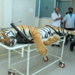 Nagpur: The carcass of tigress Avni or T1 arrives for an autopsy at Gorewada Rescue Centre in Nagpur on Nov 3, 2018. Avni or T1, who is believed to be responsible for killing and devouring 13 humans in the Pandharkawada- Ralegaon forests of Yavatmal district in eastern Maharashtra over the last two years. In September this year, the Supreme Court had said Avni or T1, as she is called, could be shot at sight, which prompted a flurry of online petitions seeking pardon for the tigress. (Photo: IANS) by .