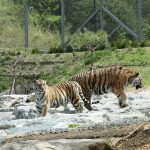 """Bonghwa: Two Siberian tigers -- a 13-year-old female named Hancheong and a seven-year-old male named Uri -- stroll in a """"tiger forest"""" in the National Baekdu-daegan Arboretum, located on a mountain range in Bonghwa, a town in South Korea's southeast province of North Gyeongsang, on May 3, 2018. The Korea Forest Service opened the arboretum, which was established on a 27,600-square-meter site, making it one of the largest of its kind in Asia. The establishment of the tiger forest is part of the country's efforts to preserve the endangered species in the wild.(Yonhap/IANS) by ."""