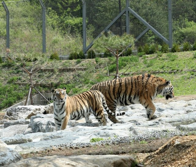 Bonghwa: Two Siberian tigers -- a 13-year-old female named Hancheong and a seven-year-old male named Uri -- stroll in a