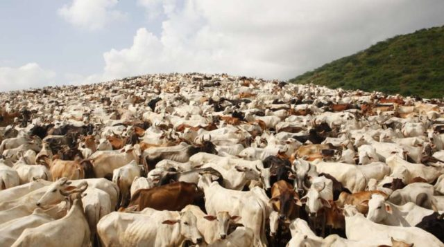 Cows at a cowshed in Mathura. (File Photo: IANS) by .