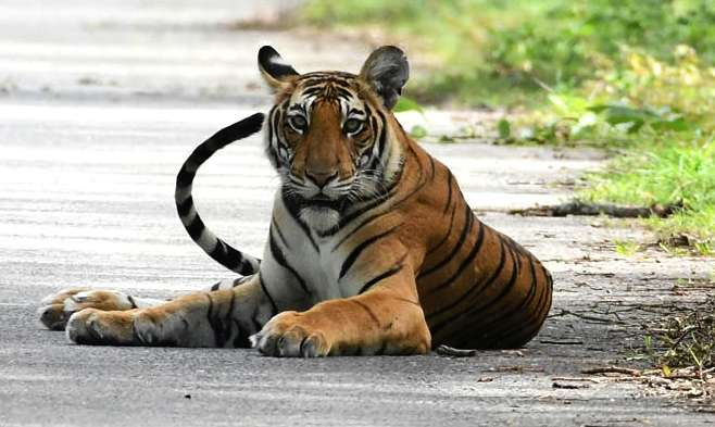 Tiger. (File Photo: IANS) by .