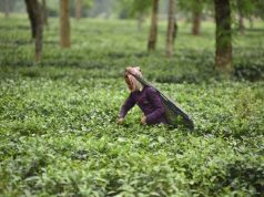 Tea garden. (File Photo: IANS) by .