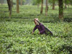 Tea garden. (File Photo: IANS) by .