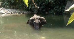 The Kerala Forest department has launched a 'manhunt' for those responsible for the death of a 15-year-old pregnant wild elephant, said an official. The elephant had died after being seriously injured by firecrackers hidden in a pineapple. Speaking to IANS Samuel Pachuau, the Wildlife Warden of the Silent Valley National Park, near here said this was a serious crime whosoever was behind it. According to Pachuau, some people had placed firecrackers inside a pineapple and this was eaten by the wild elephant and in the process of chewing the cracker burst and injured the elephant. by .